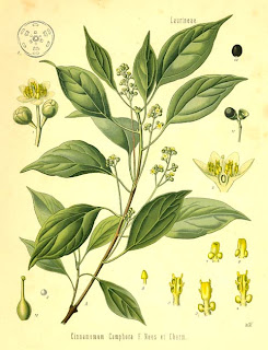 24057.Lauraceae+-+Cinnamomum+camphora.jpg