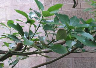 Lauraceae-Machilus+thunbergii-111.jpg