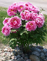 Another view of Sherry's peony tree