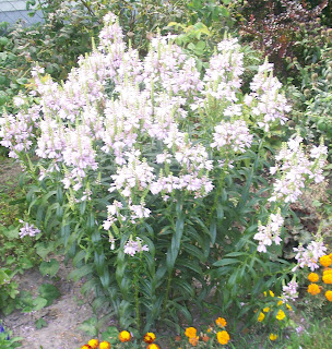 white flowers of my obedient plant in the back yard