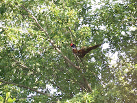 pheasant in the maple tree