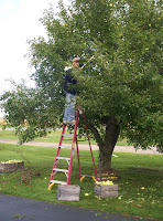 Dad picking apples on the ladder