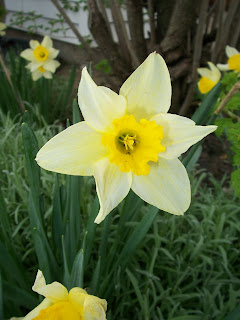 daffodil close-up