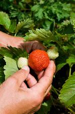 Økologiske Korona jordbær
