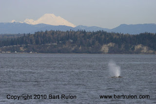 Whale Watching Report 3/23 -Island Adventures – www.OrcaWhales.com