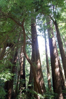 I thought these Redwoods looked nice and fit the idea of growth and new life in this post...if you don't think so I think you will agree that they at least look nice.