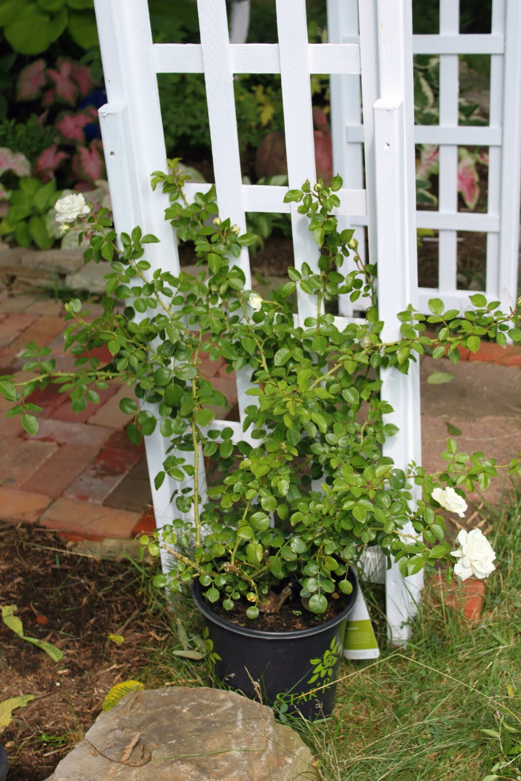 One plant at a time a new climbing rose for me and my trellis and of course garden blah blah - Climbing rose trellis ...