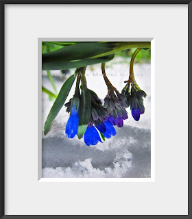 Mountain bluebells dangle above a fresh spring snowfall in the Colorado Rocky Mountains.