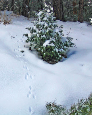 A trail of rabbit tracks in snow leads up a snowbank and into a forest.