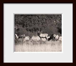 A framed sepia print of a dominant bull elk guards his harem protectively.