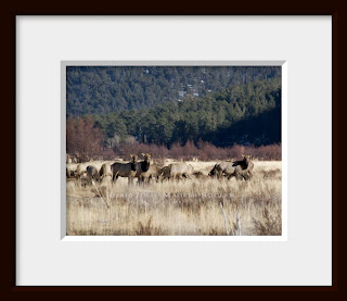 A framed photo of a group of elk cows, one pair looking to be a mother and daughter, watch closely for predators in Rocky Mountain National Park, Colorado.