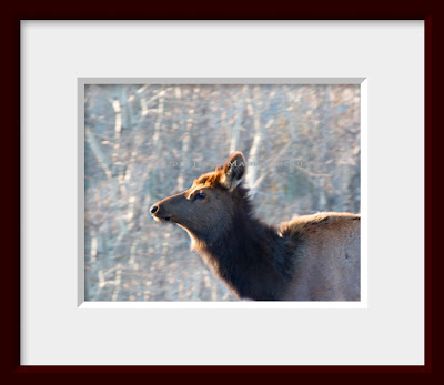 A framed photo of a young elk cow.