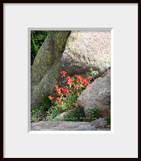 A framed photo of Indian paintbrush growing in the rocks at Rocky Mountain National Park.