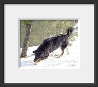 a framed photo of a black dog tracking in the snow