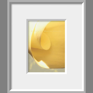 Framed photo of gentle curls of yellow flower petal catch the morning light on this calla lily.