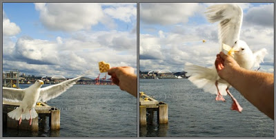 seagull in flight taking cracker from hand