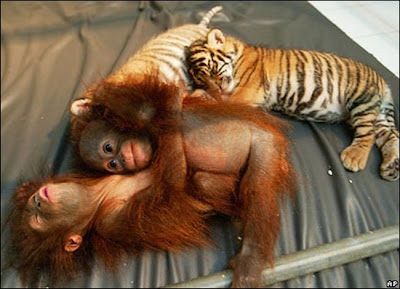 Orangutans and Tiger cub sleeping