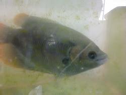 Ikan Kaloi (Sabah Kaloi)