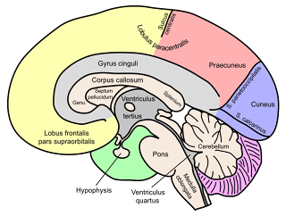 adhd treatments adhd and alcoholism the corpus callosum (part 1)  corpus callosum diagram #5