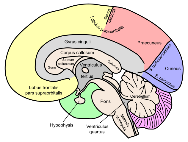 ADHD treatments: ADHD and Alcoholism: The Corpus Callosum (part 1)