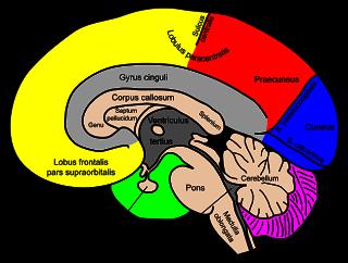 Adhd a precursor to alcoholism corpus callosum part 2