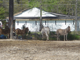 Donkeys, a Zebra, and a Z-donk