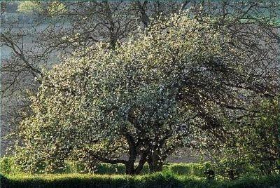 Защото е толкова прекрасно, когато зад прозореца цъфти ябълка...