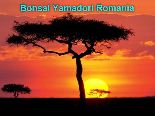 Bonsai Yamadori Romania