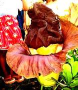Bunga Hutan Raflesia