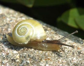 how to get rid of pond snails completely