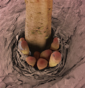Microscopic Organisms Living In Your Eyelashes This lil  fella lives around