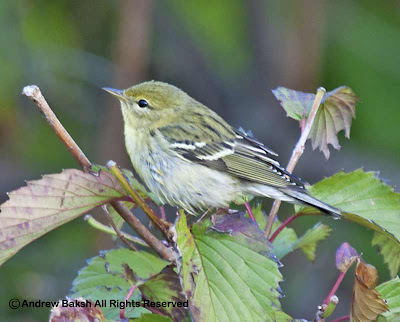 Blackpoll Warbler On Viburnum Shrub.