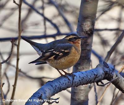 Success, Success, Success - Twitching the Varied Thrush in Central Park...