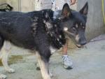 el perro más antiguo del CAAC de Bcn. Black: Adopción por favor