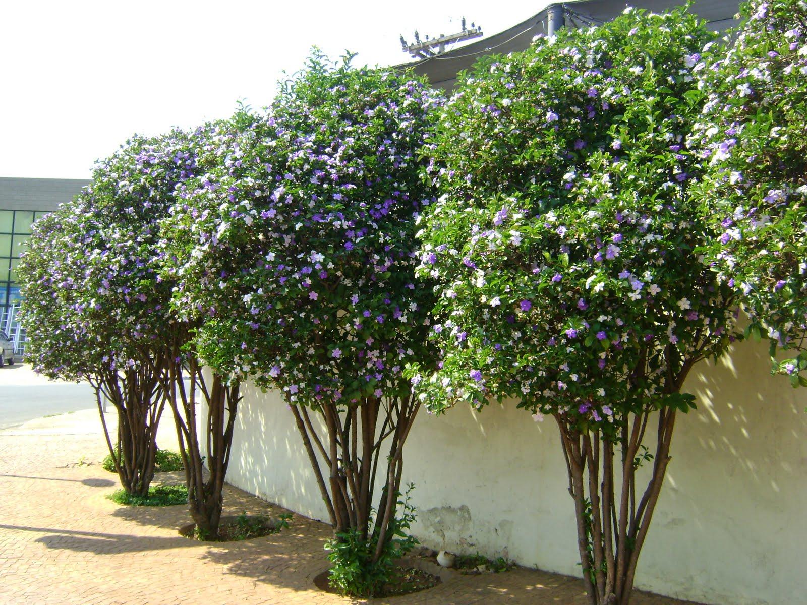 manaca de jardim em vaso : manaca de jardim em vaso: Fascinante: Brunfelsia Unifloravulgo Manacá de Cheiro