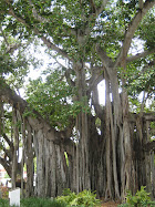 The Banyon Tree