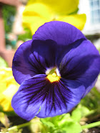Oh My Purple Pansy