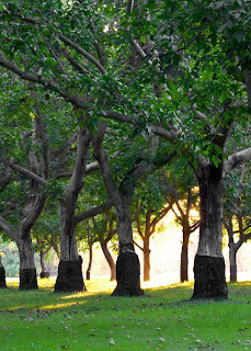 walnut trees in orchard
