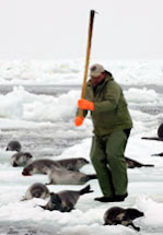 La matanza de focas, una vergüenza mundial ¿CONSENTIDA?