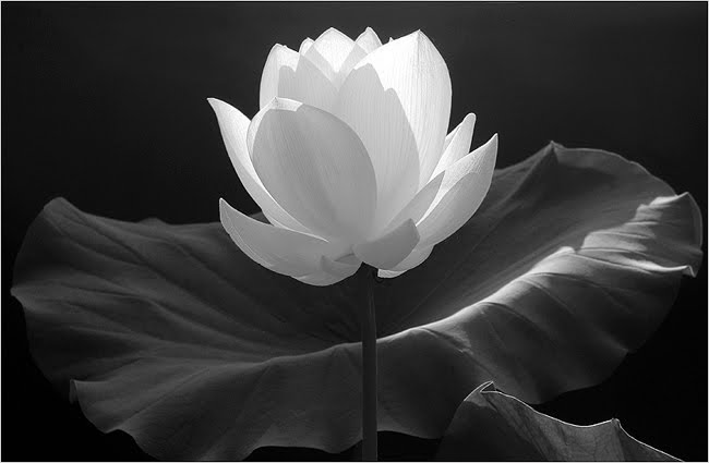 Boo bee trap the power of the lotus lotus flowers are amazing and have strong symbolic ties to many asian religions especially throughout india the lotus flower starts as a small flower down mightylinksfo