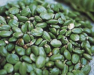 Petai (Broad Stinky Beans)