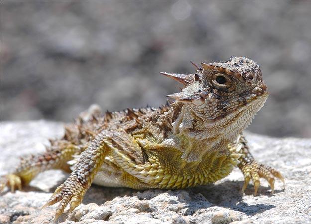 http://3.bp.blogspot.com/_BN92fDNF1jk/TPZKG8QoOgI/AAAAAAAAABY/ZoHs86OeX8k/s1600/horned-lizard-625x450.jpg