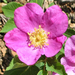 Kirsten's Creations: Iowa's state flower!