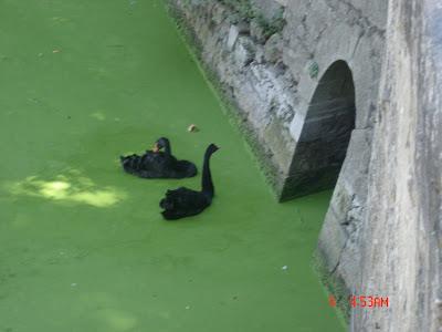 Черные лебеди - вполне в стиле мадам Пуатье