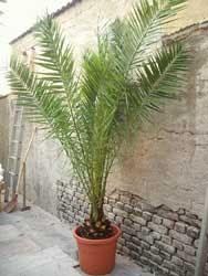 Mere el jardinero - Variedades de palmeras de exterior ...