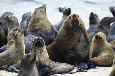 capecross fur seals arctocephalus pusillus