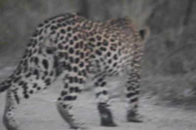 leopard namibia etosha