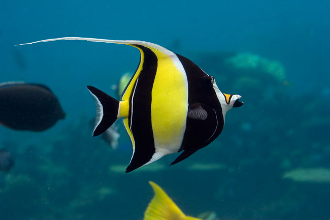 Neate 39 s kahalu 39 u captain cook and two step snorkel reef for Moorish idol fish