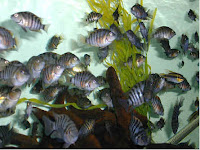 convict cichlid the struggle for peace