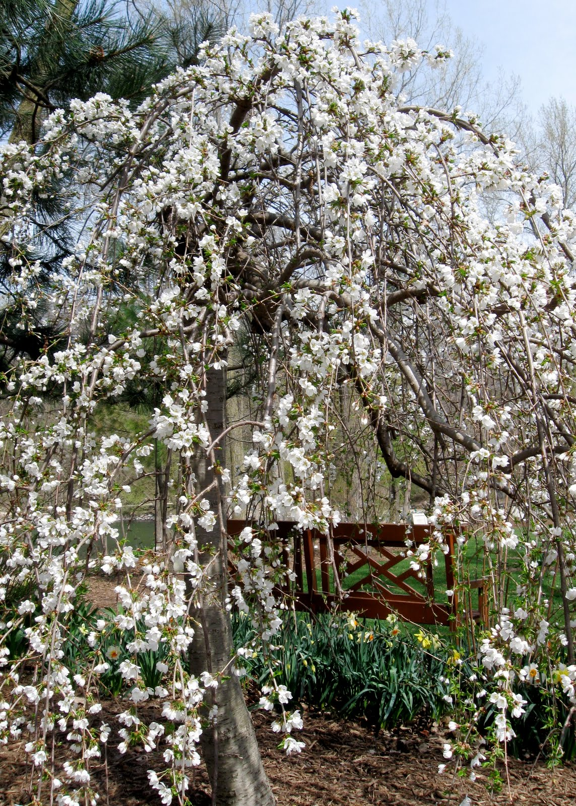 how to grow a weeping rose tree